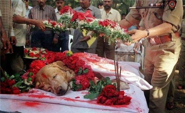 #20 Chú chó Zanjeer đã cứu hàng nghìn người trong vụ nổ súng liên hoàn tại Mumbai vào tháng 3/1993 khi phát hiện hơn 3.329kg thuốc nổ RDX, 600 kíp nổ, 249 quả lựu đạn và 6406 viên đạn. Chú được chôn cất và truy điệu như một người có công với đất nước vào năm 2000. (Ảnh: Life Buzz)