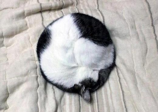 Chú mèo cuộn tròn tạo thành một cục bông y hệt như ai đó vừacắm compa và xoay một vòng vậy.