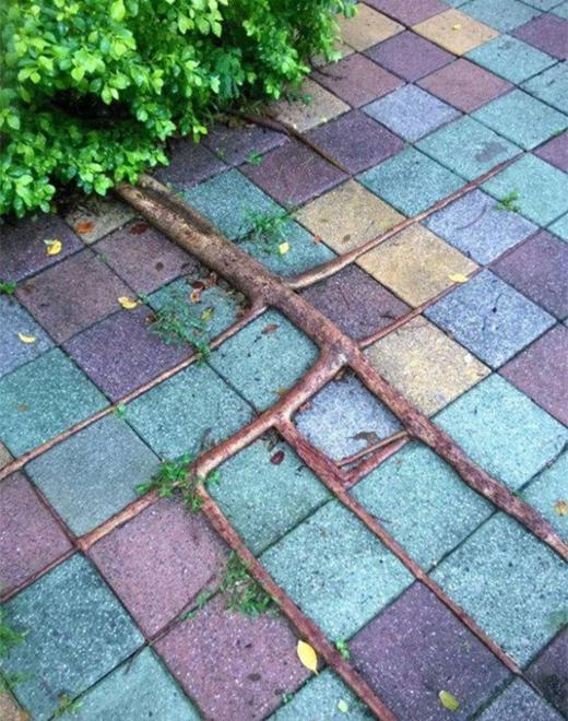 Đường đi của rễ cây trông cứ như được ai đó ép vào khuôn mẫu.