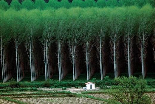 Rừng cây bạt ngàn thẳng tắp theo đúng một quy chuẩn, trông như các bạn học sinh tiểu học đang xếp hàng.