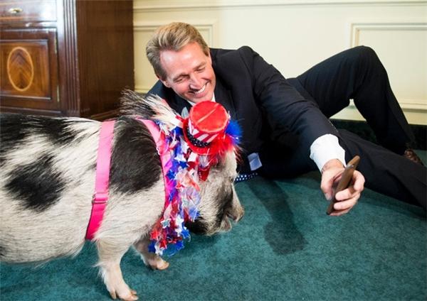 """Thượng nghị sĩ Jeff Flake selfie cùng một chú lợn tại buổi họp báo về """"pork barrel"""" (tạm dịch: thùng thịt lợn, là từ lóng chỉ những dự án công để làm hài lòng cử tri và giành được phiếu bầu của họ, nôm na là dự án mua chuộc cử tri)."""