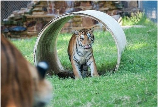 """Đến nay, hai con hổ đã """"hẹn hò"""" được 4 năm rồi."""