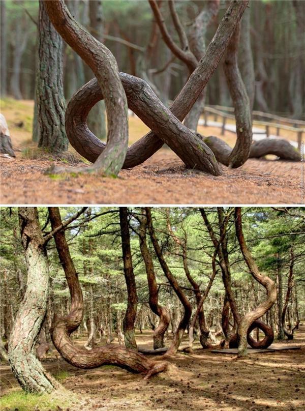 Cả khu rừng với những thân cây uốn lượn kì lạ.
