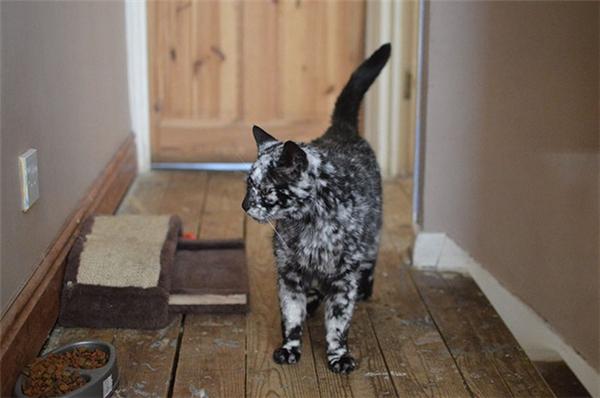 Kì lạ chú mèo 19 tuổi có bộ lông bạc dần như tóc người già