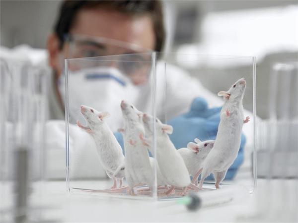 Thí nghiệm trên chuột đã cho kết quả tốt