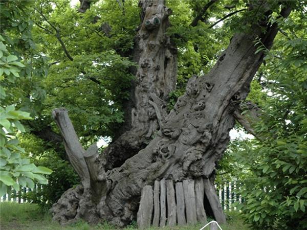 Điểm danh 10 cây cổ thụ...