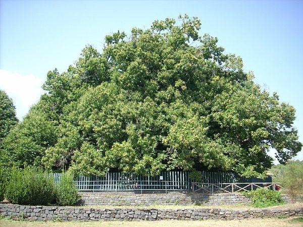 Cây dẻ này còn được kỉ lục Guinness thế giới đã công nhận là cây có chu vi lớn nhất thế giới.