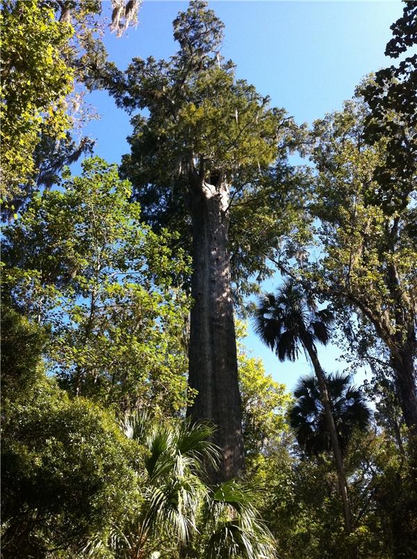 Cây The Senator mọc ở bang Florida là cây bách trọc lớn nhất nước Mỹ.