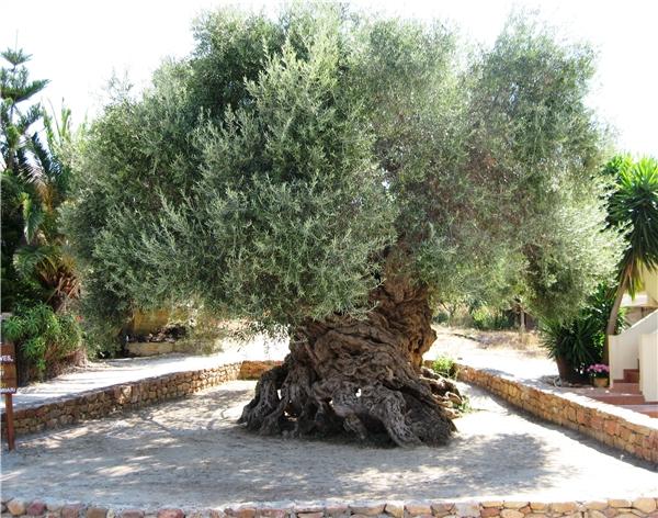 Cây ô liu này là một trong bảy cây ô liu có tuổi thọ lớn nhất ở Địa Trung Hải.