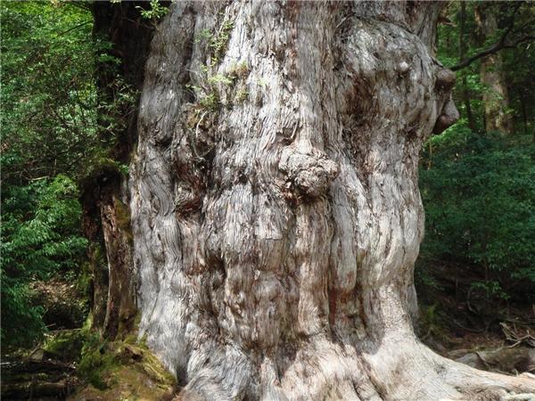 Cây Jomon Sugi ước tínhđã tồn tại trên Trái Đất ít nhất 2.000 năm, thậm chí là hơn 5.000 năm theo một số chuyên gia.