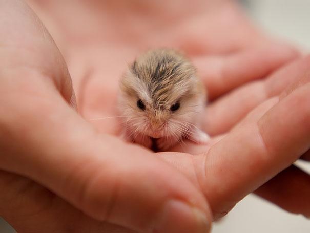 Mới nhặt được em hamster đáng yêu quá sức luôn nè.