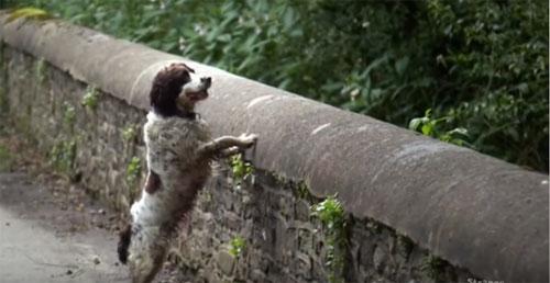 Giống chóCollie và Labrador Retriever luôn là đối tượng chínhcủa những vụ tự tử.