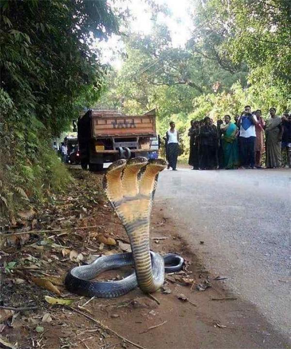 Đây là tấm ảnh chụp lại hình ảnh con rắn hổ mang đột biến khiến nhiều cư dân mạng kinh hãi. Phía sau con rắn còn có một đám người đang tụ tập chụp hình khiến độ đáng tin của bức ảnh càng tăng.