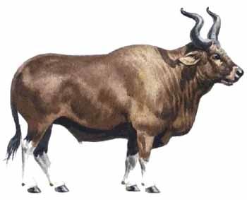 Auroch nặng tới 1 tấn, ngang cỡ một con voi nhỏ.