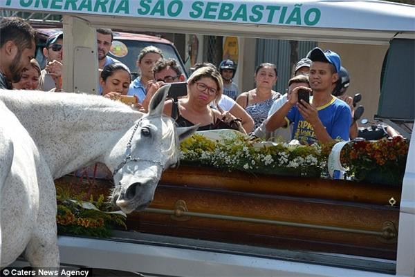 Chú ngựa tựa đầu vào quan tài, lặng lẽ rơi nước mắt ở tang lễ chủ nhân