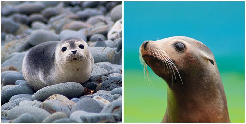 Hải cẩu và sư tử biển. (Ảnh: internet)