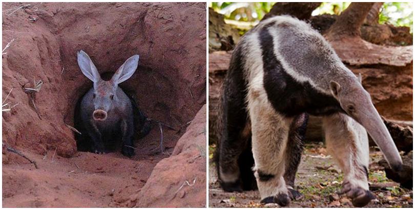 Lợn đất châu Phi và thú ăn kiến. (Ảnh: internet)
