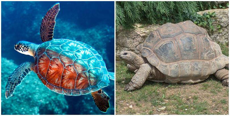 Rùa biển và rùa cạn. (Ảnh: internet)