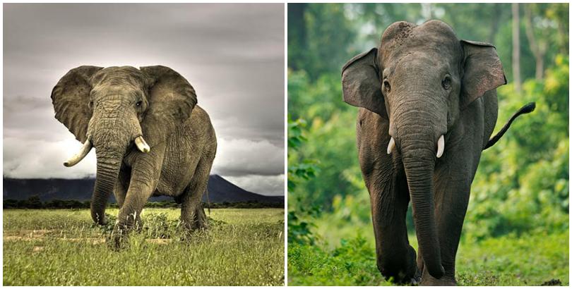 Voi châu Phi và voi châu Á. (Ảnh: internet)