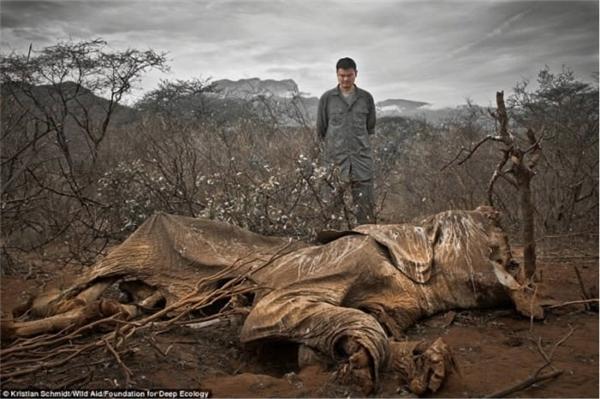 Xác voi bị giết vàbỏ mặcđến thối rữa.