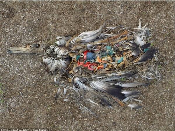 Nếu tiếp tục xả rác, con người rồi cũng sẽ chịu một cái kết bi thương như chú chim hải âu này.