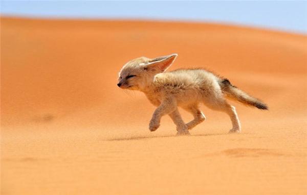 9. Cáo fennec: Đây là loài nhỏ nhất trong họ nhà chó, có bộ lông sáng màu tuyệt đẹp và đôi tai vô cùng nổi bật, có thể đạt kích thước tối đa 15cm chiều dài, giúp chúng thích nghi được với môi trường nóng bức ở sa mạc, đồng thời thính giác cực nhạy giúp chúng đánh hơi được con mồi dưới lòng đất. Đây là loài sinh sống về đêm, phân bổ chủ yếu tại Bắc Phi và sa mạc Sahara.