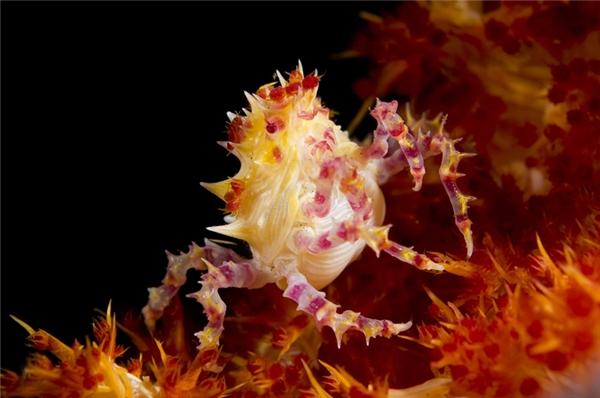 5. Cua kẹo: Với chiều dài khoảng 2cm, loài cua độc đáo này có thể khéo léo ẩn mình vào các bụi san hô bằng cách đổi màu, từ đỏ sang vàng, hồng và trắng. Chúng sinh sống chủ yếu ở các vùng biển ở Ấn Độ Dương và Thái Bình Dương.