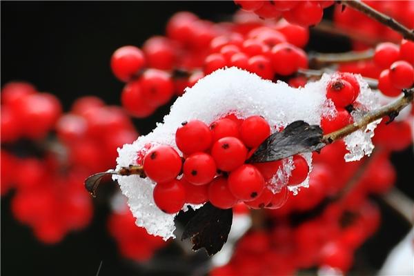 Đào đông rộ trái vào mùa đông của Châu Âu. (Ảnh: Internet)