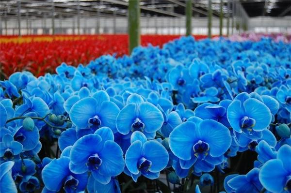 """Lan hồ điệp xanh dương quả là """"tuyệt phẩm"""" với màu sắc huyền bí khó cưỡng. (Ảnh: Internet)"""
