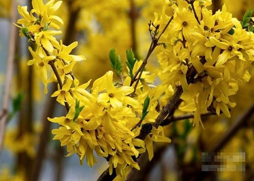 Mai Mỹ có màu vàng rực rỡ như mai Việt. (Ảnh: Internet)