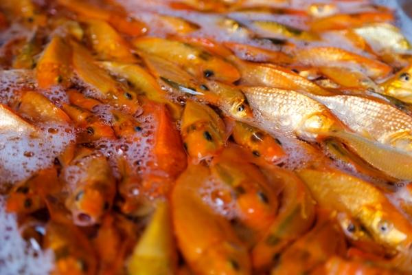 Chị Huyền, một tiểu thương tại đây cho biết, cá năm nay không nhiều hộ nuôi cá chép vàng nên giá cá đắt gấp 2 gấp 3 so với năm ngoái.Giá cá trung bình từ 150-200 ngàn đồng/cân tuỳ loại xấu đẹp. Riêng chị từ sáng đã nhập gần 1 tấn cá để bán.