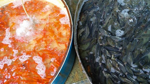 Chợ cá Yên Sở chỉ bán buôn không bán lẻ, các lái buôn đổ về lấy hàng sau đó tỏa đi khắp Hà Nội, thậm chí nhiều tỉnh lân cận cũng đổ về đây mua cá.