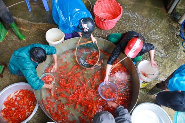 Cá phục vụ Tết ông Công ông Táo đem về chợ bán được các tiểu thương mua từ Tam Dương (Vĩnh Phúc) Hà Nam, Hải Dương, Hưng Yên.