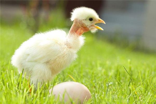 Năm gà cùng ngắm bộ lông