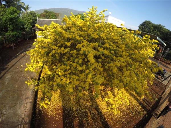 Hình ảnh cây mai sum suê, to lớn và nở hoa vàng rực cả một khu vườn khiến nhiều người xuýt xoa đây chính là cây mai đẹp nhất trong Tết năm nay.