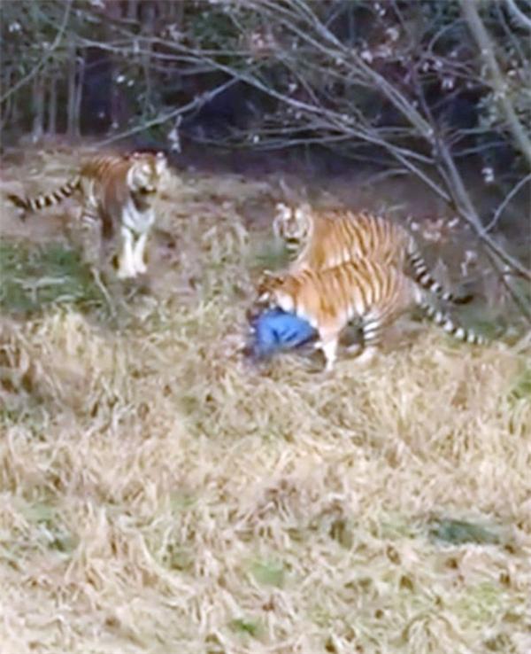 Trốn 400.000 tiền vé trèo vào sở thú, du khách bị hổ vồ chết