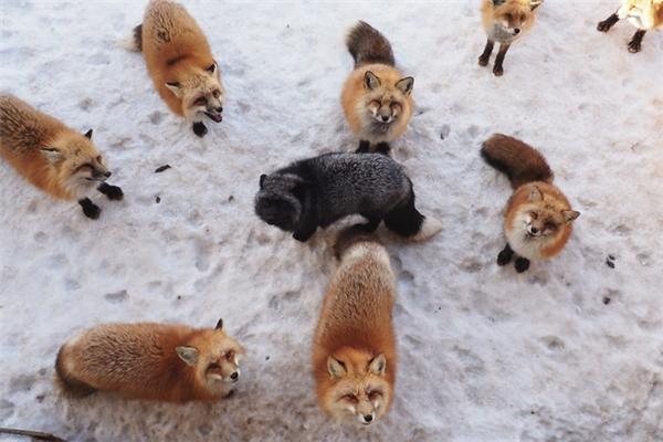 Trong đó đặc biệt nhất là cáo bạc, cáo đỏ, cáo tuyết.