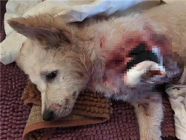 """Chú chó tội nghiệp bị kẻ xấu chặt lìa một chân trước khiến cộng đồng mạng """"dậy sóng""""."""