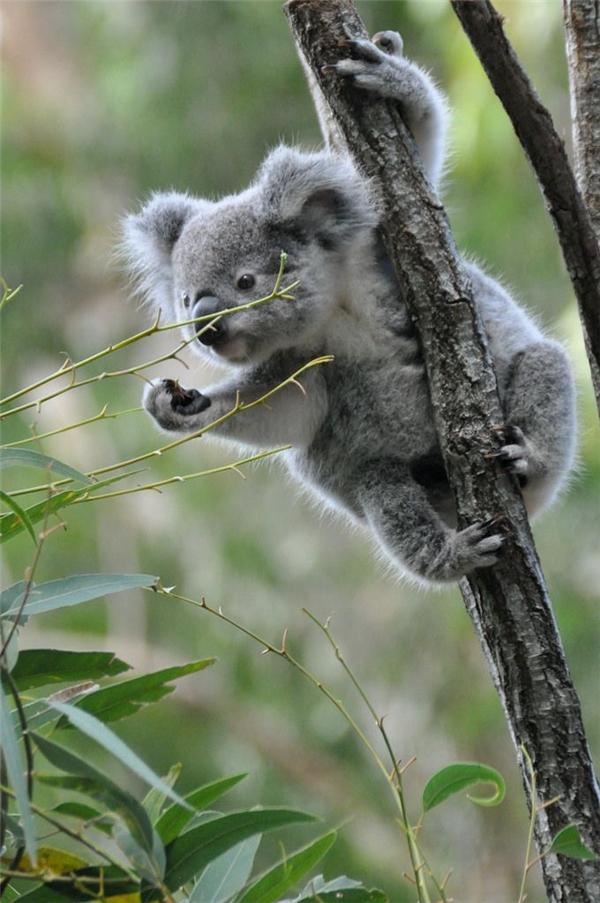 9. Gấu túi Koala: Đây là một loài thú có túi ăn cây cỏ, sinh sống chủ yếu tại nước Úc. Tốc độ lớn nhất của một con gấu túi Koala là 447cm/giây. Chúng có thể leo lên cây rất nhanh nhưng lại di chuyển một cách uể oải lờ đờ như buồn ngủ.