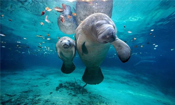 7. Lợn biển: Đây là loài động vật có vú chuyên ăn cỏ, có thể đạt cân nặng 590kg với chiều dài 4m. Đó là lý do vì sao chúng vô cùng chậm chạm, chỉ bơi được khoảng 139-222cm/giây. Không những thế chúng còn rất lười, hiếm khi sử dụng đến những chiếc tay chân giống như mái chèo để di chuyển. Cơ bản thì chúng chỉ sống ở những vùng nước nông và để cơ thể tự do trôi nổi trong nước.