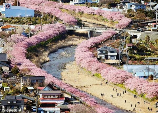 Mùa xuân đến sớm ở miền đông Nhật Bản, tại thị trấn Kawazu.