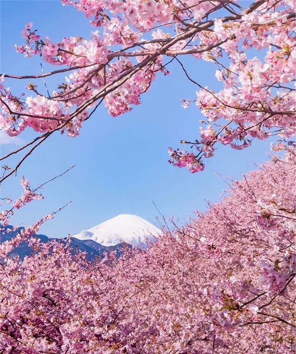 Tuy nhiên, hoa anh đào ở Kawazu lại nở sớm hơn rất nhiều, vào khoảng tháng 2.