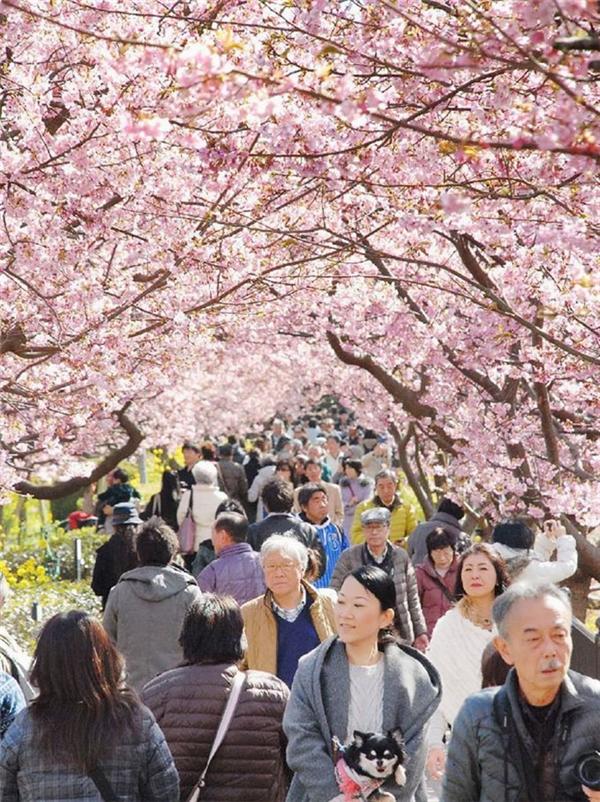Hàng triệu du khách trong và ngoài nước đổ về để ngắm sắc hồng lãng mạn của hoa anh đào.