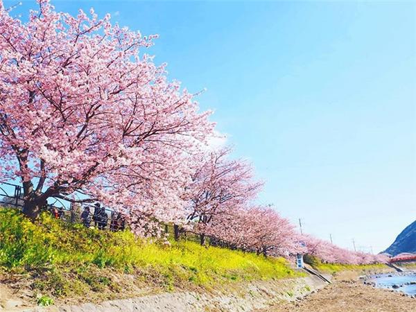 Kawazu thuộc bán đảo Izu, cách thủ đô Tokyo 2 giờ xe lửa.