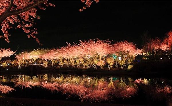 Về đêm, hàng cây được đèn pha chiếu sáng, phản chiếu xuống mặt nước tĩnh lặng của bán đảo Izu, tạo nên khung cảnh lung linh huyền ảo.