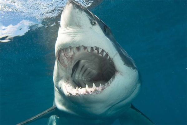 Cận cảnh hàm răng đáng sợ của chúa tể đại dương.