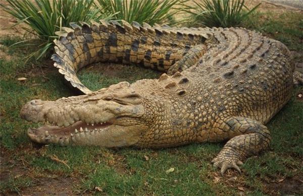 Cá sấu nước mặn sở hữu cơ thể lớn nhất trong các loài bò sát còn tồn tại trên thế giới.