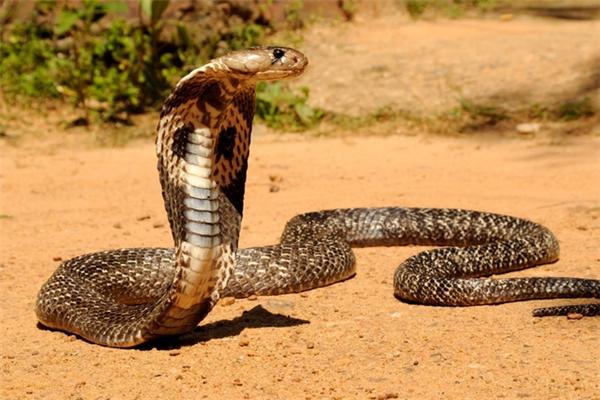 Nọc độc của rắn hổ mang chúa cực kì nguy hiểm.