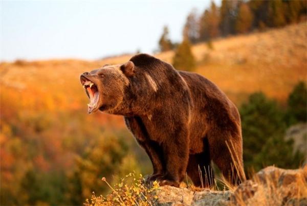 Gấu xám Bắc Mỹ rất hung hăng và hiếu chiến.