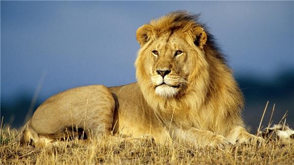 Sư tử châu Phi mỗi năm giết khoảng 250 người trên thế giới.